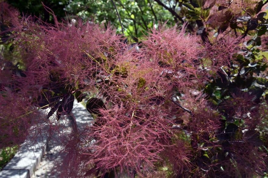 鶴見・イギリス庭園とスモークツリー (8)