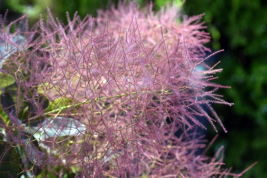 鶴見・イギリス庭園とスモークツリー (9)