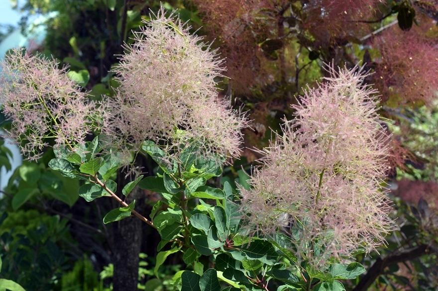 鶴見・イギリス庭園とスモークツリー (10)