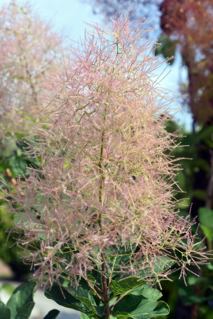 鶴見・イギリス庭園とスモークツリー (11)