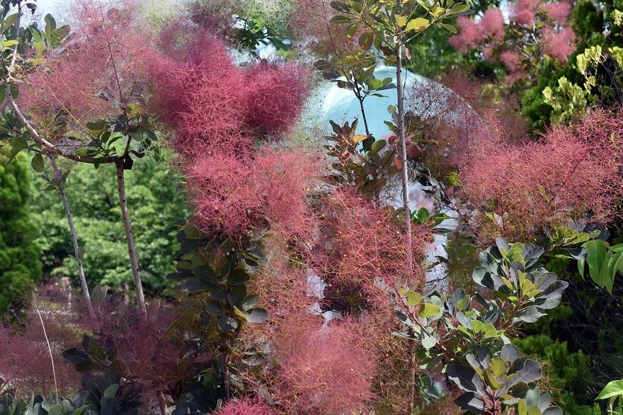 鶴見・イギリス庭園とスモークツリー (12)