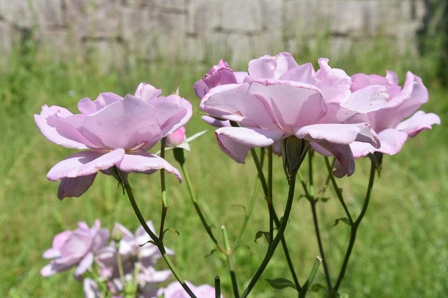 鶴見・トルコ庭園とバラ (2)