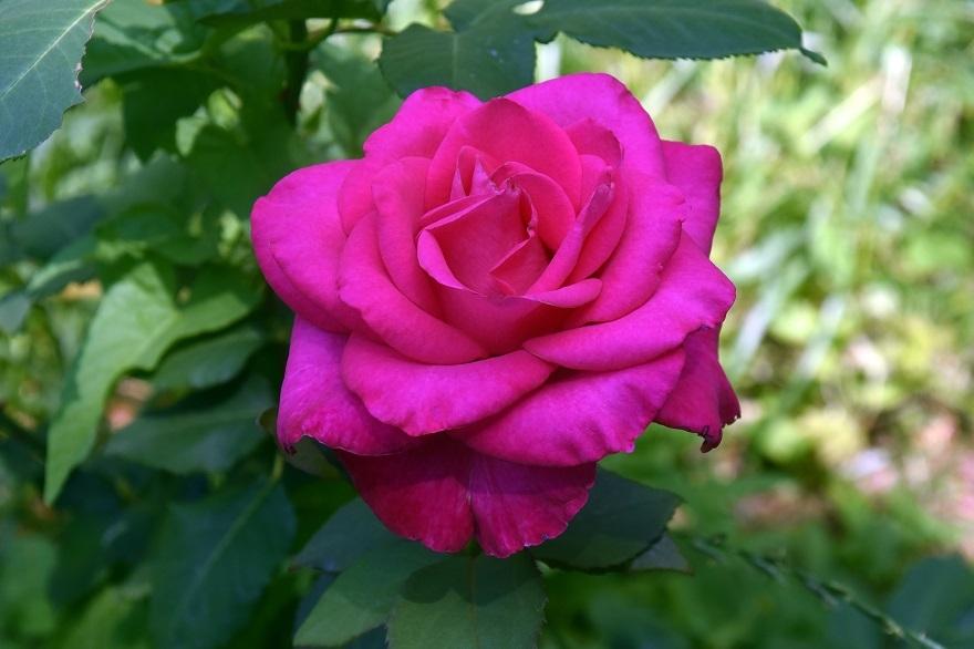 鶴見・トルコ庭園とバラ (3)