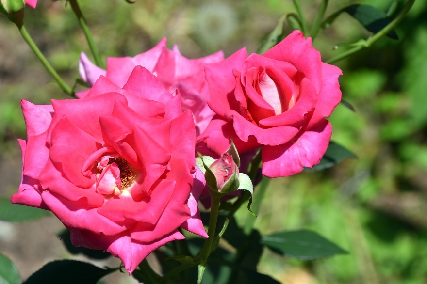鶴見・トルコ庭園とバラ (4)