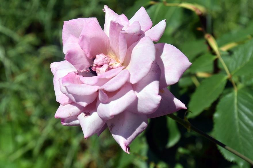 鶴見・トルコ庭園とバラ (5)