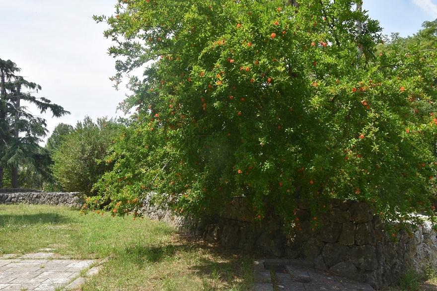鶴見・イスラエル庭園とザクロ (12)