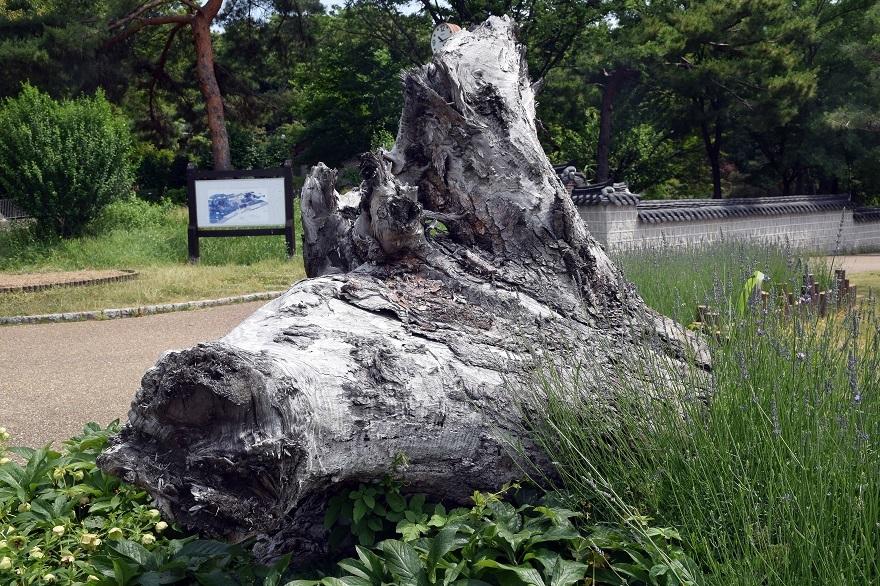 鶴見・木の根の倒木 (1)