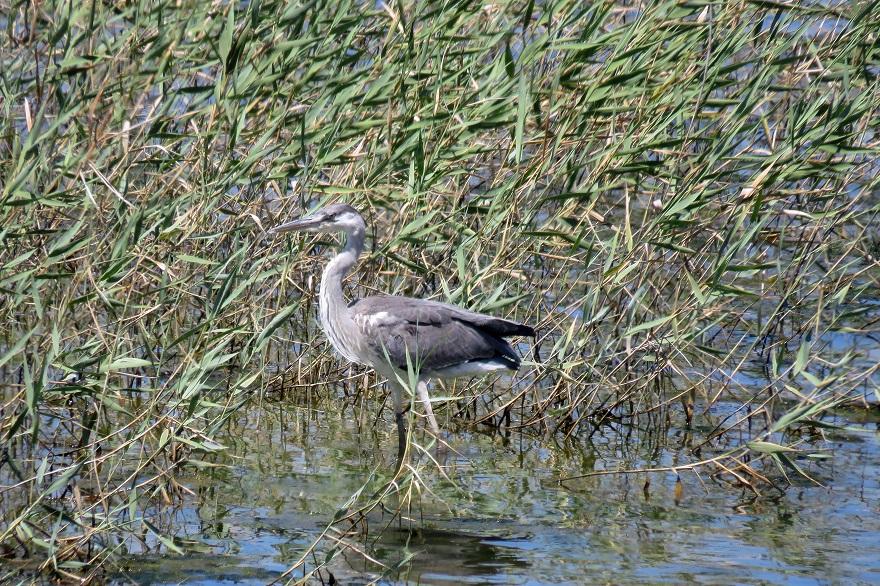 大阪南港野鳥園2020・8月 (2)