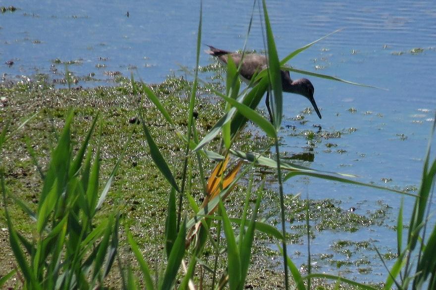 大阪南港野鳥園2020・8月 (06)