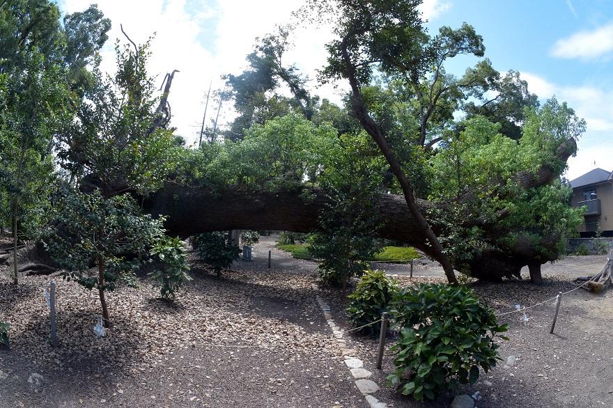 豊中公園の倒木 (0)