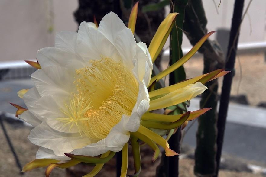 咲くやこの花・姫月下美人10月 (0)