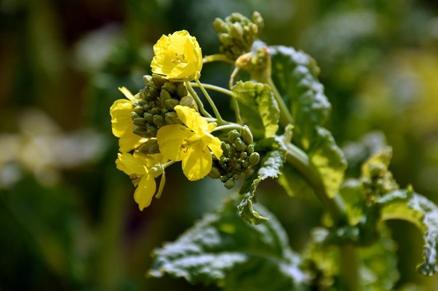 和泉リサイクル菜の花2021 (3)