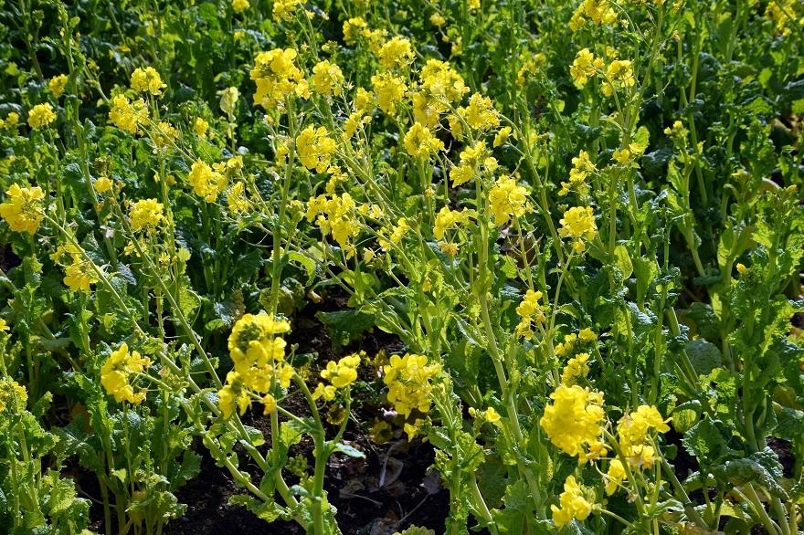 和泉リサイクル菜の花2021 (2)