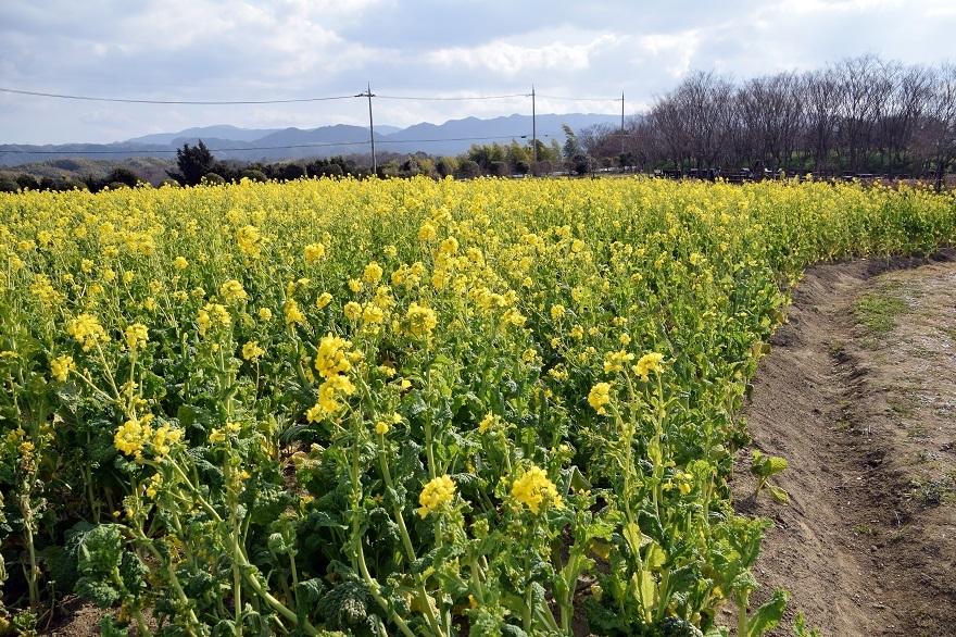 和泉リサイクル菜の花2021 (4)