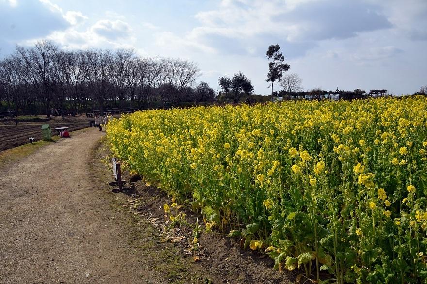 和泉リサイクル菜の花2021 (6)