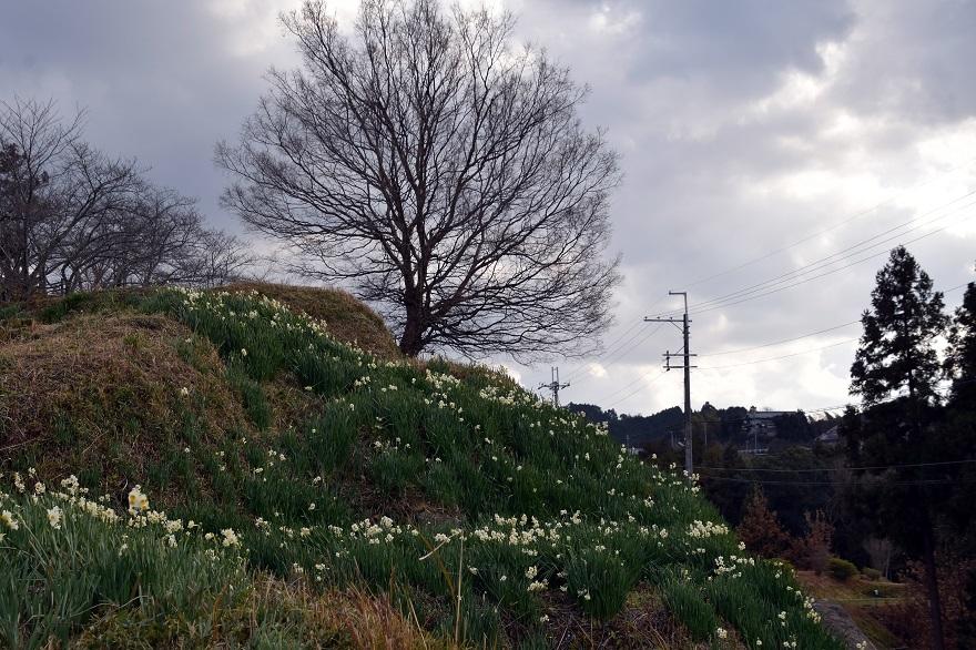 水仙の丘2021年1月 (4)
