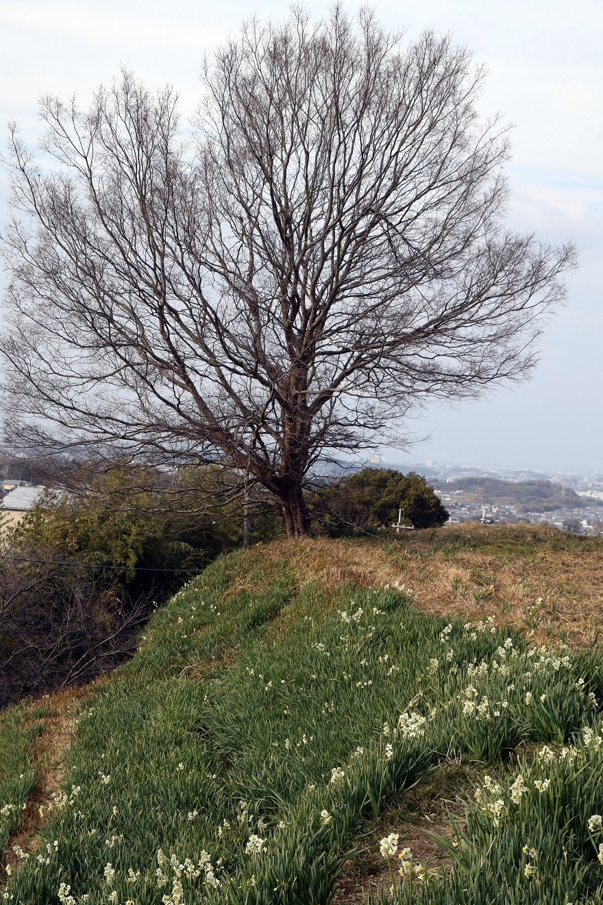 水仙の丘2021年1月 (12)