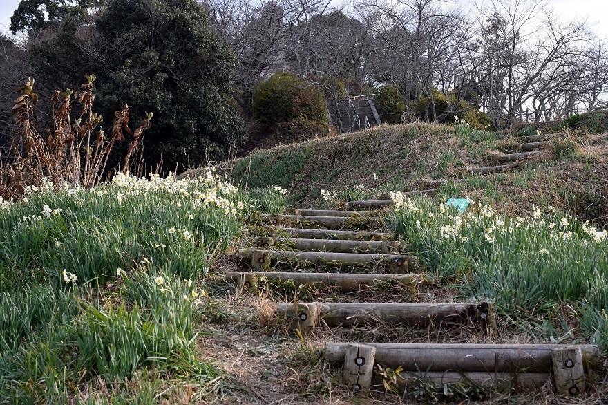 水仙の丘2021年1月 (13)