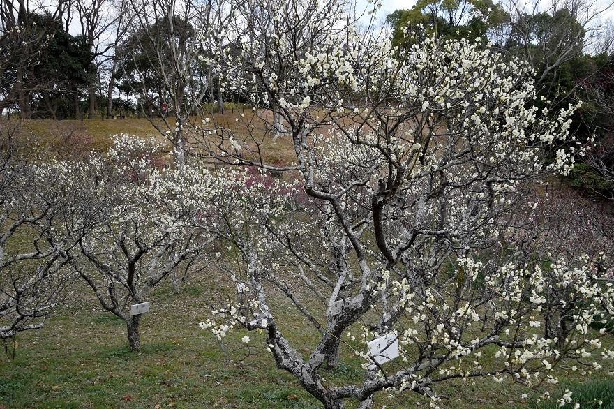 錦織公園の梅の里 (1)