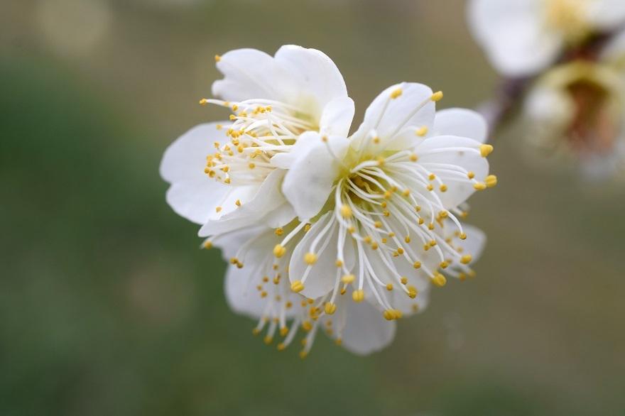 錦織公園の梅の里 (4)