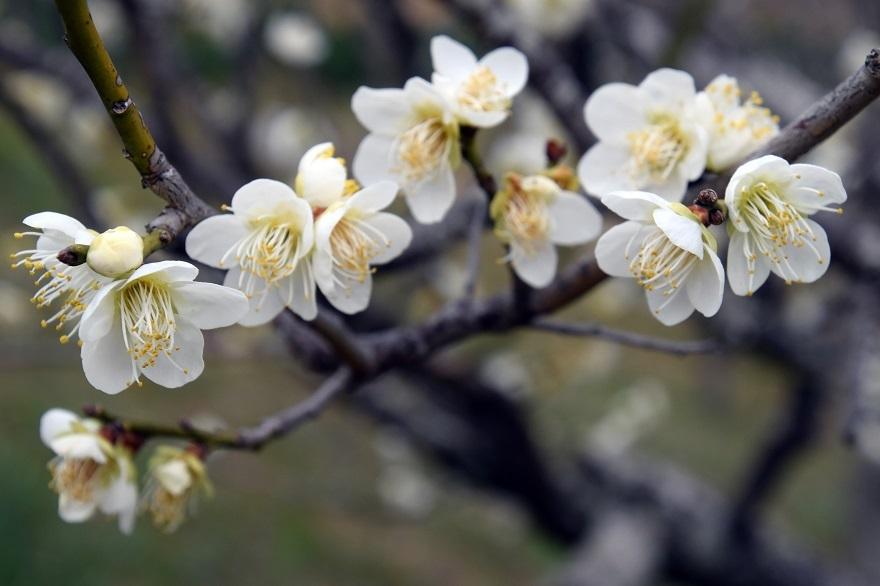 錦織公園の梅の里 (3)