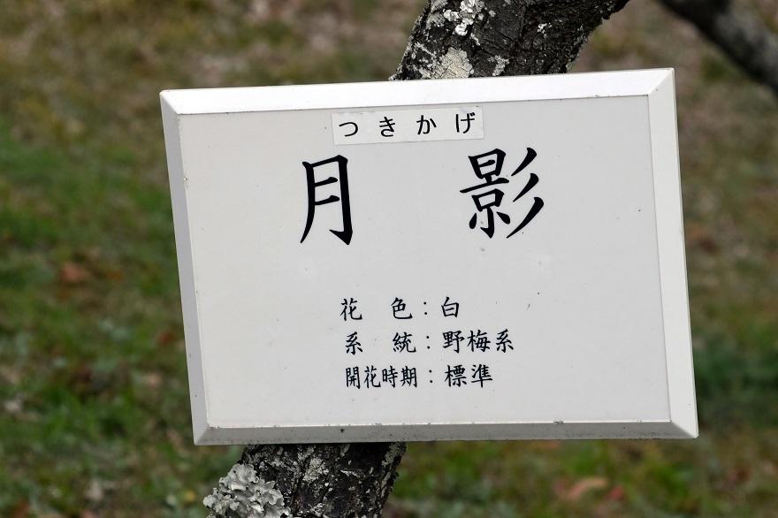 錦織公園の梅の里 (5)