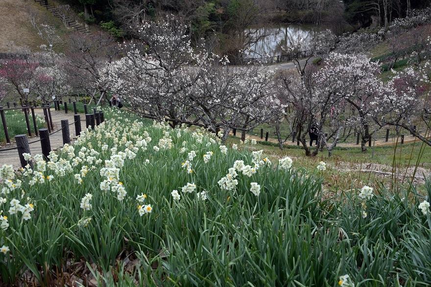 錦織公園の梅の里 (7)