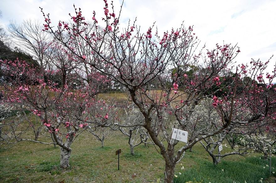 錦織公園の梅の里 (6)