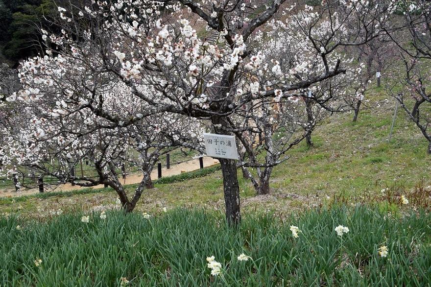 錦織公園の梅の里 (10)