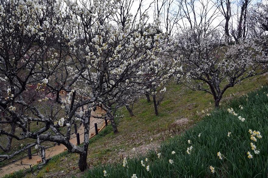 錦織公園の梅の里 (11)
