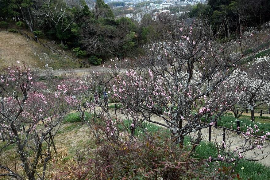 錦織公園の梅の里 (12)
