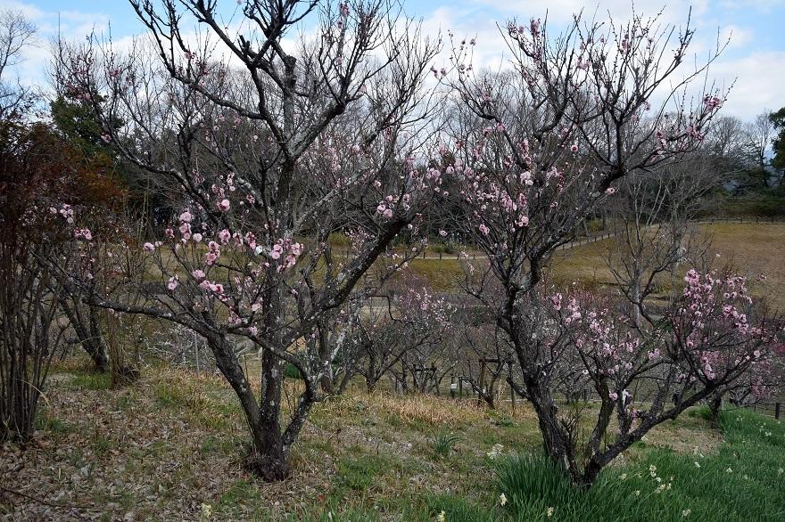 錦織公園の梅の里 (13)