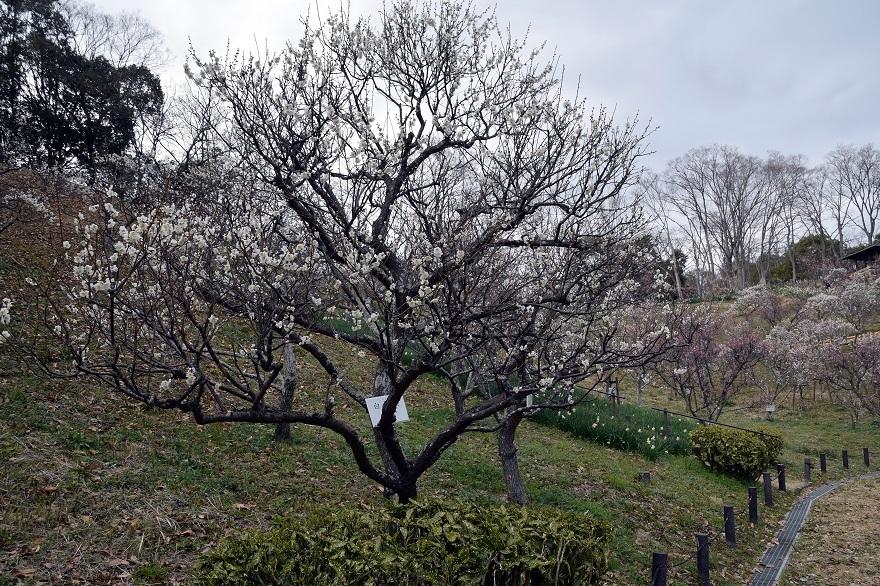 錦織公園の梅の里 (14)