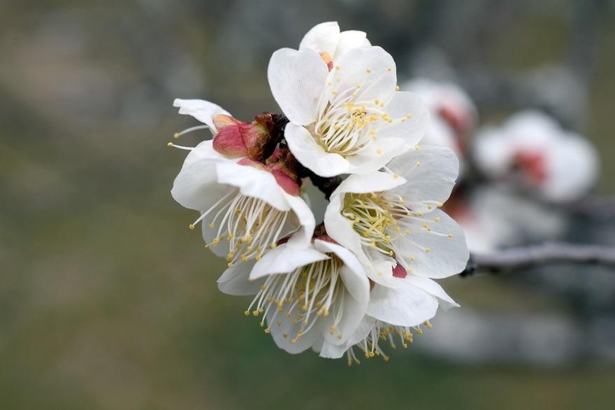 錦織公園の梅の里 (15)