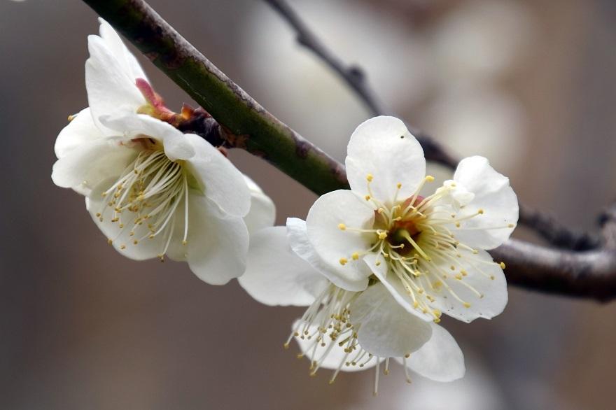 錦織公園の梅の里 (16)