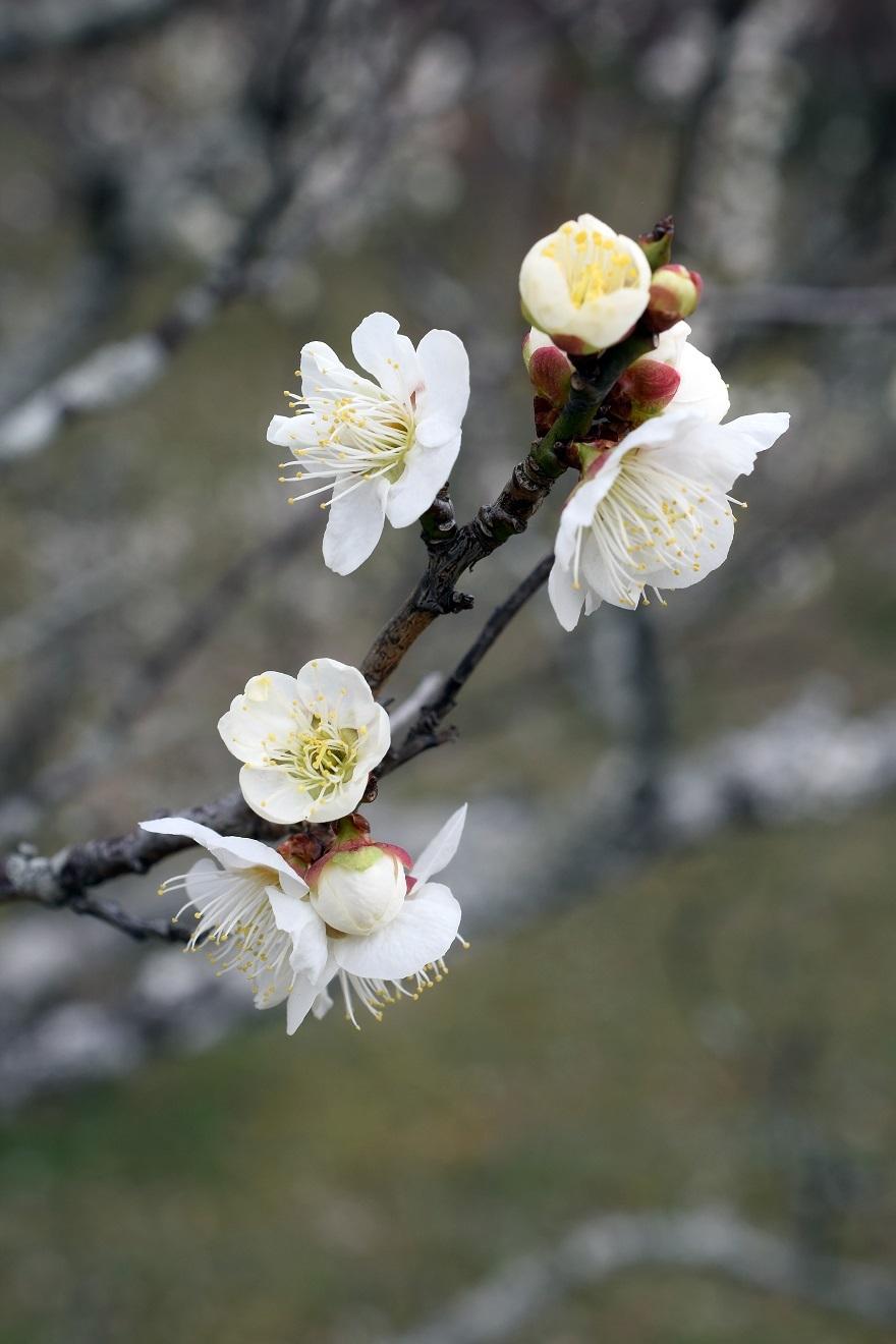 錦織公園の梅の里 (017)