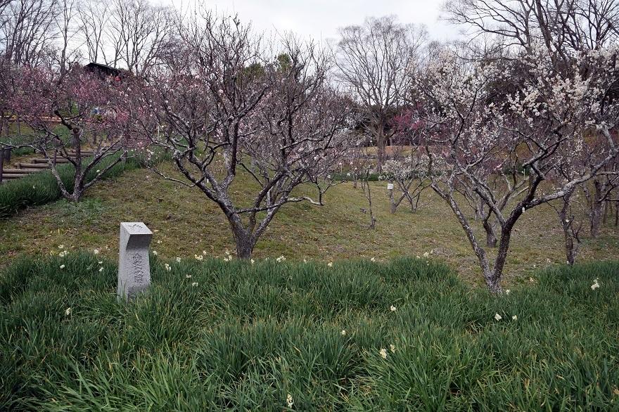 錦織公園の梅の里 (19)
