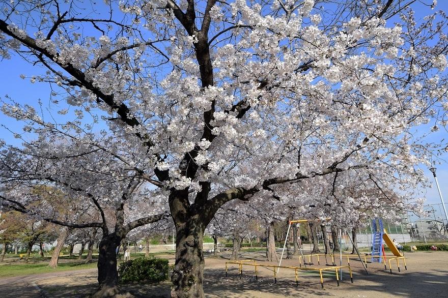 平野公園・桜2021年3月 (0)