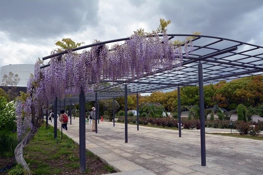 万博記念公園・藤の花2021 (0)