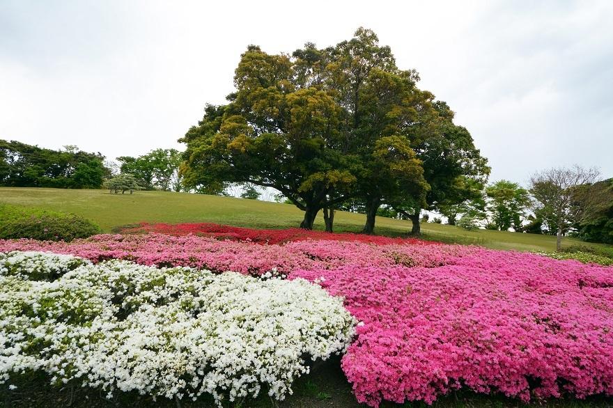 万博記念公園・ツツジ 2021 (0)