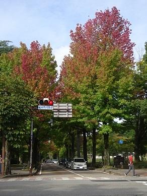 広坂通のアメリカ楓