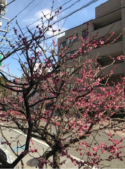 表参道中尾梅の花