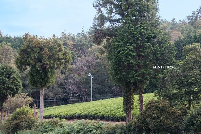春日宮天皇陵付近の茶畑