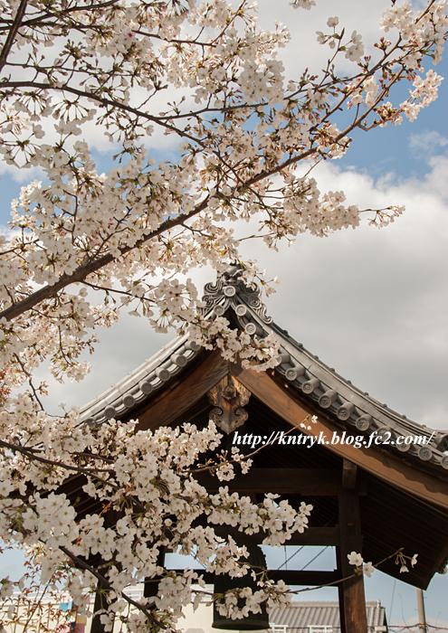 渚の院 桜