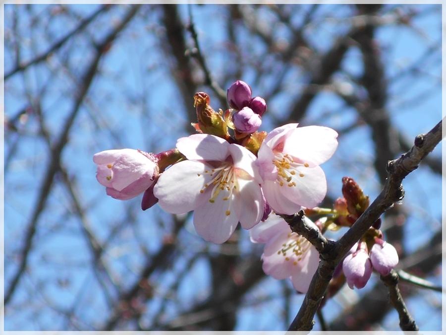 2020年5月8日 桜