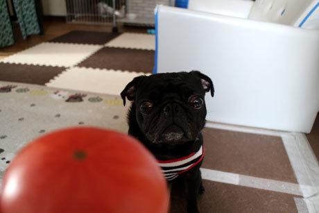 はちべいトマト