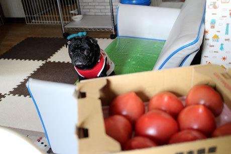 今日のトマトは丁度よい