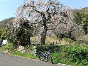 西山のしだれ桜