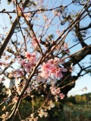 不忍池弁天堂 十月桜