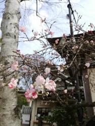 花桃(源平しだれ桃)上野 五条天神社